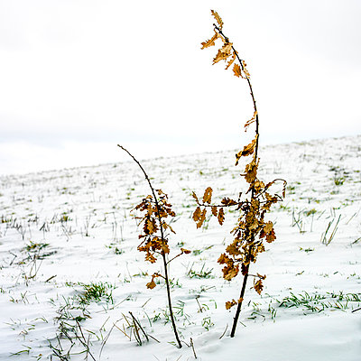 Oak branch in a snow field - p813m1000137 by B.Jaubert