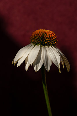 Single white echinacea flower  - p1047m2015416 by Sally Mundy