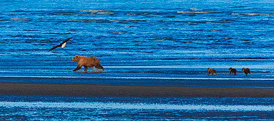Brown bear sow and cubs - p1100m887867f by Art Wolfe