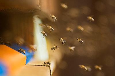 Honeybee hives (Apis mellifera) - p3004795f by Hans Huber
