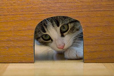 Cat peeking through mouse hole - p924m664829f by Herbert Spichtinger