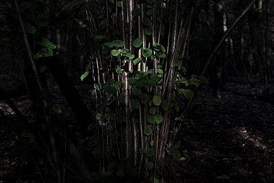 Haselstrauch im Schatten - p212m900996 von Edith M. Balk