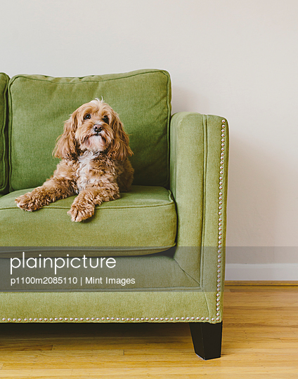 A cockapoo mixed breed dog, a cocker spaniel poodle cross, a family pet with brown curly coat sitting on a chair - p1100m2085110 by Mint Images
