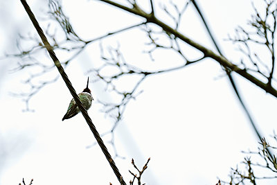 View from below of an Anna's Hummingbird sitting on a wire - p1166m2153301 by Cavan Images