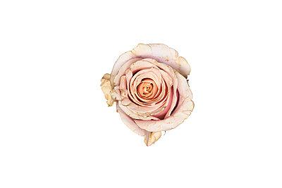 Old Rose - p587m1466591 von Spitta + Hellwig