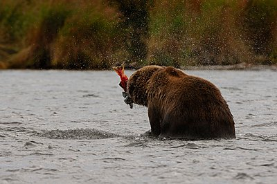 Grizzly bear(Ursusarctosssp.) feeding on salmon in river, Katmai National Park, Alaska, USA - p1166m2201475 by Beck Photography