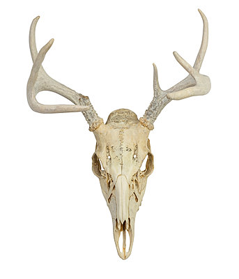 Deer skull with antlers - p1427m2169119 by Tetra Images