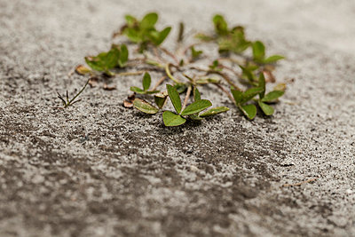 Clover on sandy soil - p199m887303 by Oliver Jäckel