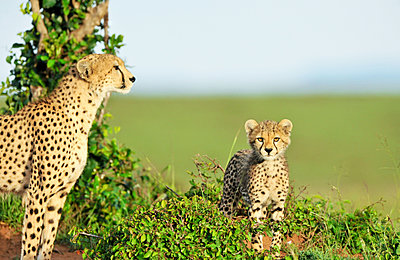 Cheetah with young - p533m1120359 by Böhm Monika