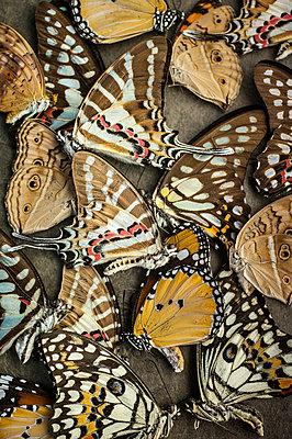 Dead butterflies - p971m1550371 by Reilika Landen