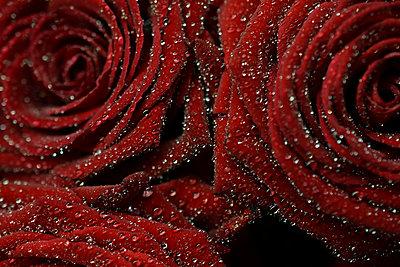 Roses - p1235m2044531 by Karoliina Norontaus