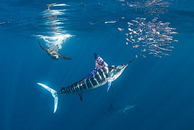 Striped marlin hunting mackerel and sardines, joined by sea lion - p429m2068746 by Rodrigo Friscione