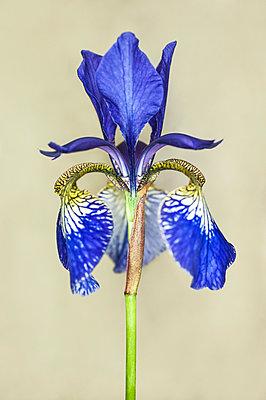 Iris flower - p971m1039158 by Reilika Landen