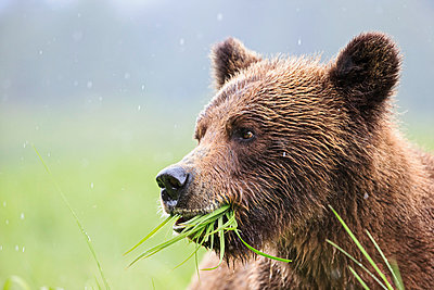 Canada, Khutzeymateen Grizzly Bear Sanctuary, Portrait of a Grizzly - p300m981170f by Fotofeeling