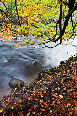 Fallen leaves and tree overhanging the River Nidd in Nidd Gorge in autumn, near Knaresborough, North Yorkshire, Yorkshire, England, United Kingdom, Europe - p871m898460f by Mark Sunderland