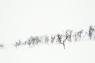 Bare trees in a snowstorm, Jämtland, Sweden - p1481m2203817 by Peo Olsson