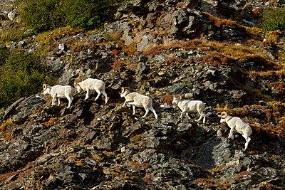 Dall's sheep (ovis dalli) rams walking across rocky ridge on side of mountain in autumn denali national park;Alaska united states of america - p442m804939f by Gary Schultz