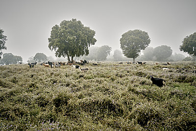 Goats on the pasture - p850m2081995 by FRABO