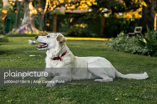 White dog with tennis ball lying on meadow in the garden - p300m2118416 by Aitor Carrera Porté