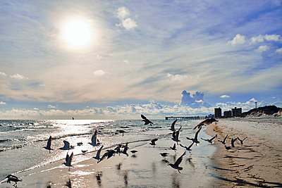 Silhouette of birds taking off on beach with pier behind, Saint Andrews state park, Florida, USA, 2019 - p1362m2146415 by Charles Knox