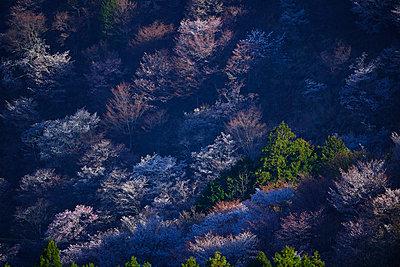 Blooming cherry blossoms at Mount Yoshino, Nara Prefecture, Japan - p307m1495891 by MATSUO.K