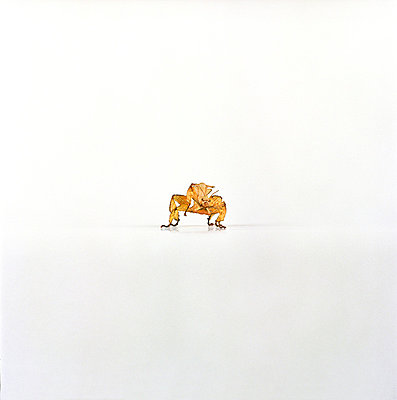 Gespenstschrecke - p6060153 von Iris Friedrich