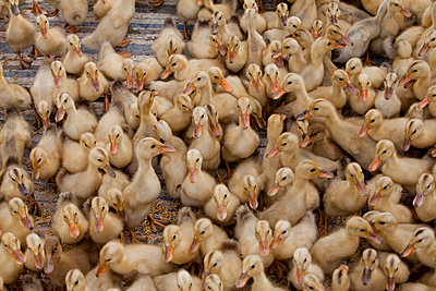 Little Ducklings,  Vietnam, Asia. - p934m832585 by Yan Lerval photography