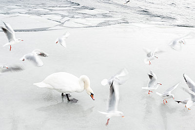 Schwäne und Möwen auf gefrorenem See - p739m1104200 von Baertels