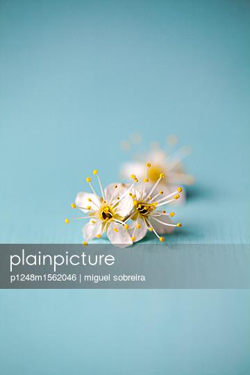 plainpicture - plainpicture p1248m1562046 - Small White Blossoms - plainpicture/miguel sobreira