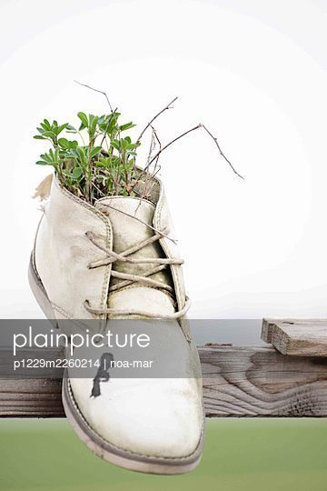Seedlings in vintage shoe as a flowerpot - p1229m2260214 by noa-mar