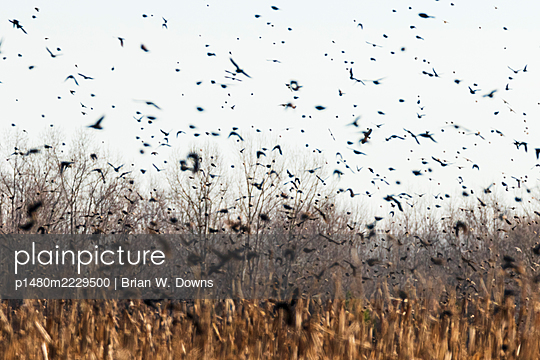 Flock of black birds leaving a field - p1480m2229500 by Brian W. Downs