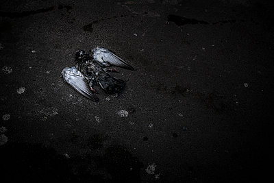 Dead pigeon with white wings - p1007m1134156 by Tilby Vattard