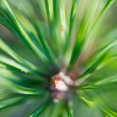 Close-up of pine bud - p312m1472259 by Fredrik Schlyter