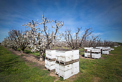 Beehives near cherry trees on farm - p555m1412268 by Jeffrey Davis