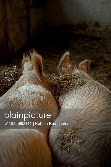Schweine - p1195m982911 von Kathrin Brunnhofer