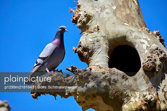Feral pigeon on tree - p1299m2181643 by Boris Schmalenberger