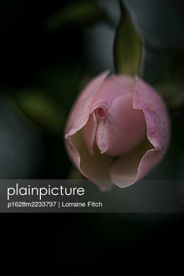 Pink rose with a vintage look - p1628m2233797 by Lorraine Fitch