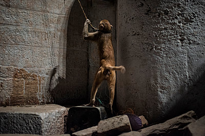 India, Tied monkey - p1007m2099054 by Tilby Vattard