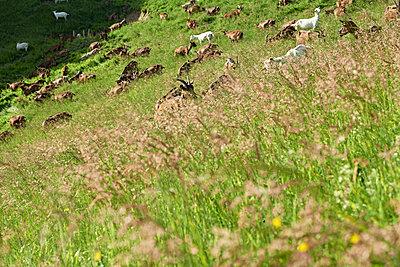 Goats - p1203m1025883 by Bernd Schumacher