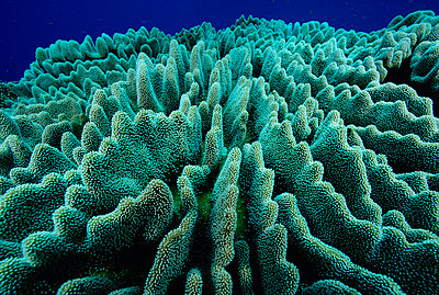 Stony Coral colony - p8845358 by Chris Newbert