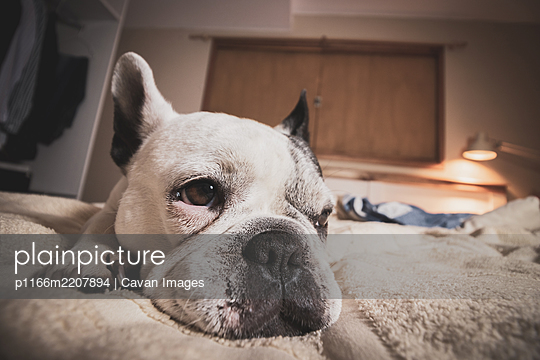 Beautiful white french bulldog resting in bed - p1166m2207894 by Cavan Images