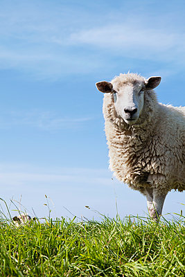 Schafe - p1006m892025 von Danel