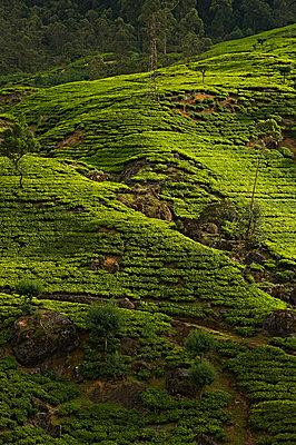 Teeplantagen bei Tangale und Kandy - p1259m1111489 von J.-P. Westermann