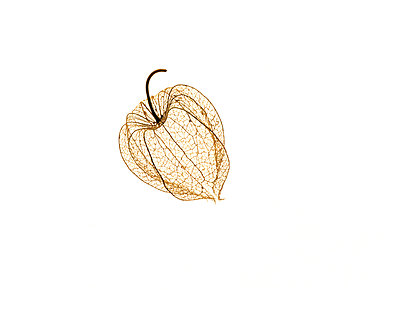 Chinese lantern. - p31215118f by Lars  Stenman