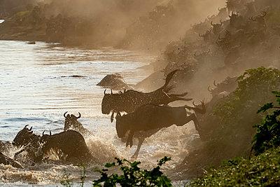 Wildebeest migration crossing the Mara River in Serengeti National Park, Tanzania, Africa - p651m2271101 by Paul Joynson Hicks photography