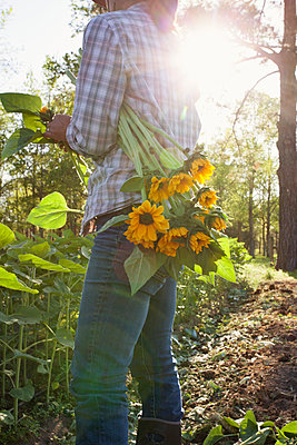 Young woman selecting sunflowers (helianthus) from sunlit flower farm field - p924m1230133 by Kinzie Riehm