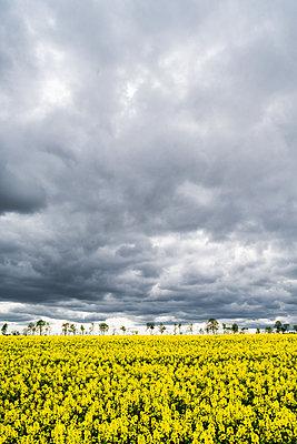 Rape field - p354m2108563 by Andreas Süss