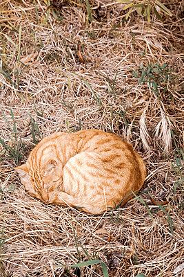 Cat in the straw - p382m2108749 by Anna Matzen