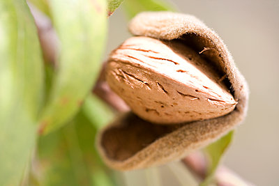 Close up of ripe almond (Prunus dulcis) in tree - p429m1155594 by RUSS ROHDE