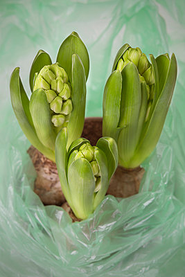 Hyacinth - p1149m952395 by Yvonne Röder